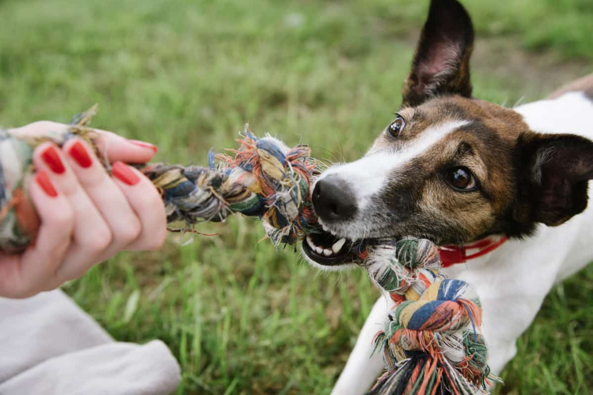 Dog playing with a durable toy